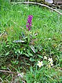 Spotted Orchid and Primroses - geograph.org.uk - 812680.jpg