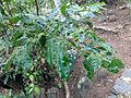 Sri Lanka-Cinnamomum verum (4).jpg