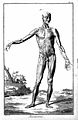 Standing male, ecorche frontal view of musculature Wellcome L0018905.jpg