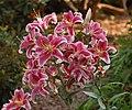 Stargazer Lillies Lillium orientale 'Stargazer' Flowers 2400px.jpg