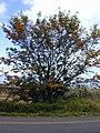 Starr-010419-0002-Grevillea robusta-habit-Kula-Maui (24505981886).jpg