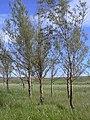 Starr-040120-0053-Casuarina equisetifolia-inflorescences-Lua Makika-Kahoolawe (24329384289).jpg
