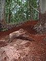 Starr-041214-1524-Eucalyptus sp-trail building-Makawao Forest Reserve-Maui (24721296615).jpg