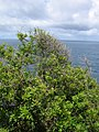 Starr-050405-5832-Schinus terebinthifolius-habitat-Keopuka-Maui (24649370021).jpg