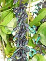 Starr-090430-6831-Strongylodon macrobotrys-flowers-Enchanting Floral Gardens of Kula-Maui (24927119026).jpg