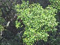 Starr-090618-1046-Syzygium jambos-leaves-Hana Hwy-Maui (24338601183).jpg