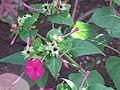 Starr-090730-3407-Mirabilis jalapa-flowers and leaves-Honolulu Airport-Oahu (24970705105).jpg