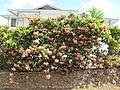Starr-090818-4471-Quisqualis indica-flowering habit-Kihei-Maui (24345659283).jpg