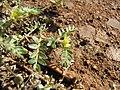 Starr-091106-9366-Tribulus terrestris-flower and leaves-Kanaha Beach-Maui (24895802881).jpg