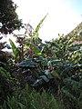 Starr-091112-9537-Musa x paradisiaca-Iholena habit-West Maui-Maui (24362276433).jpg
