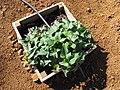 Starr-091222-0906-Ipomoea batatas-in planter box-Lua Makika-Kahoolawe (24362234474).jpg