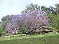 Starr-100504-5964-Jacaranda mimosifolia-flowering habit-Hanamu Rd Makawao-Maui (24944307931).jpg