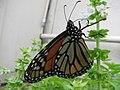 Starr-101228-6055-Ocimum basilicum-Monarch butterfly Danaus plexippus visiting flowers-Honokanaia-Kahoolawe (24691765679).jpg