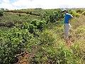 Starr-110412-5100-Syzygium cumini-habit in gulch with Kim-Kahana West Maui-Maui (25082735375).jpg