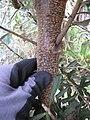 Starr-110609-6139-Banksia marginata-bark-Shibuya Farm Kula-Maui (24729141059).jpg