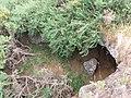 Starr-110705-6693-Ulex europaeus-in gulch with cave-Waiale Gulch-Maui (24471323463).jpg