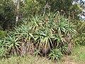 Starr-120403-4125-Aloe arborescens-habit flowers deformed by mites-Kula-Maui (24770780789).jpg