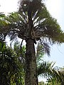 Starr-120522-6471-Dypsis decaryi-habit-Iao Tropical Gardens of Maui-Maui (25117424146).jpg