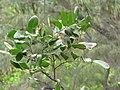 Starr-130318-2705-Cupaniopsis anacardioides-habit gully near Albatross Hill-Kilauea Pt NWR-Kauai (24912240310).jpg
