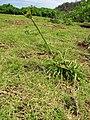 Starr-130319-3020-Cyperus polystachyos-seeding habit-Kilauea Pt NWR-Kauai (24577874714).jpg