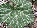 Starr-130504-4397-Cucurbita moschata-leaf-Hawea Pl Olinda-Maui (25117399001).jpg