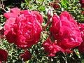 Starr-140624-4599-Rosa chinensis-CV Lokelani flowers-Kekaulike Ave Kula-Maui (25125210432).jpg