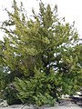 Starr-150327-0315-Juniperus bermudiana-habit-Cable Co Building Sand Island-Midway Atoll (25267916845).jpg