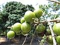 Starr-170913-0141-Sapindus saponaria-immature fruit-CTAHR Urban Garden Center Pearl City-Oahu - Flickr - Starr Environmental.jpg