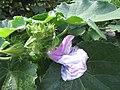Starr-170913-0174-Hibiscus furcellatus-flowers leaves-CTAHR Urban Garden Center Pearl City-Oahu - Flickr - Starr Environmental.jpg