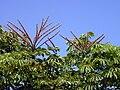 Starr 010425-0063 Schefflera actinophylla.jpg