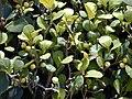 Starr 010425-0111 Ficus deltoidea.jpg