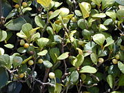 Starr 010425-0111 Ficus deltoidea