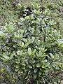 Starr 020925-0079 Melicope clusiifolia.jpg