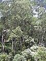 Starr 030807-0017 Eucalyptus deglupta.jpg
