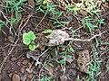 Starr 050419-6490 Coccinia grandis.jpg