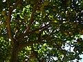 Starr 061231-3081 Citrus limon.jpg