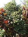 Starr 070111-3330 Camellia japonica.jpg