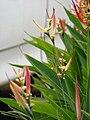 Starr 070730-7750 Heliconia psittacorum.jpg