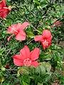 Starr 071121-0030 Hibiscus kokio subsp. kokio.jpg