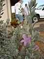 Starr 080326-3814 Leucophyllum frutescens.jpg