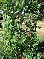 Starr 081009-0045 Phaseolus vulgaris.jpg