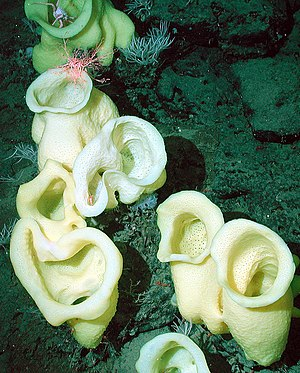 Hexactinellid - Image: Staurocalyptus noaa photo expl 0951