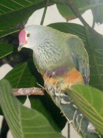 Mariana fruit dove - Image: Stavenn Ptilinopus roseicapilla 01