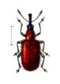 Stenorhynchites caeruleocephalus.png