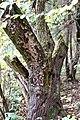 Stereum rugosum Pers. 1794 (8085781384).jpg