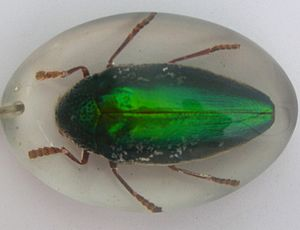 Beetlewing - Sternocera aequisignata แมลงทับ, a beetle used in Thailand for beetlewing decoration.