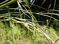 Stipa richardsonii (27455994803).jpg