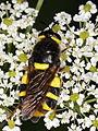 Stratiomys chamaeleon (Diptera- Stratiomyidae), ♀ (7614192796).jpg