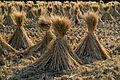 Straw of the rice.08Oct9.jpg