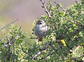 Stripe-crowned Spinetail (Cranioleuca pyrrhophia) (15774398249).jpg